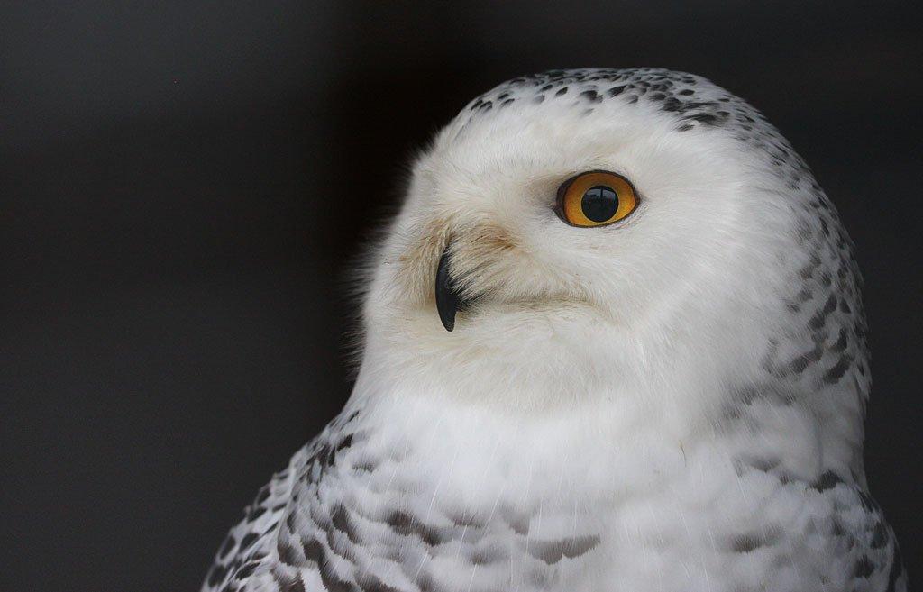 Hedwig hat das typische Federkleid der Weibchen mit braunen Flecken