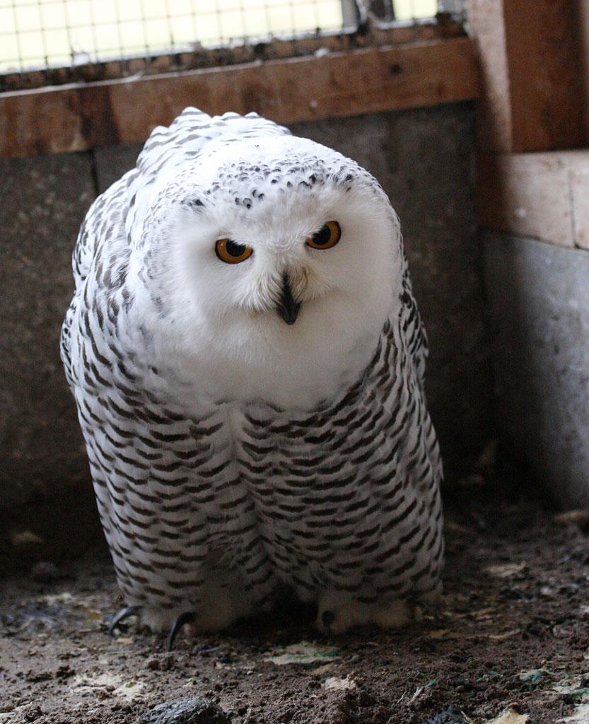 Hedwig ein wenig am Plustern