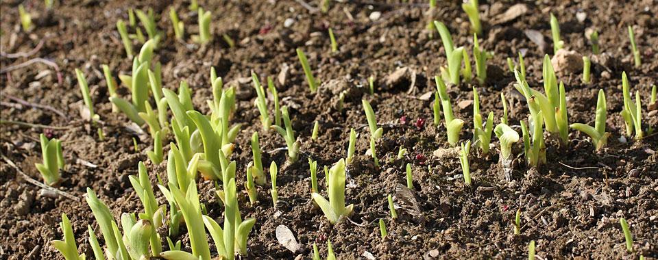 Die ersten Spitzen der Lilien kommen durch die braune Erde.