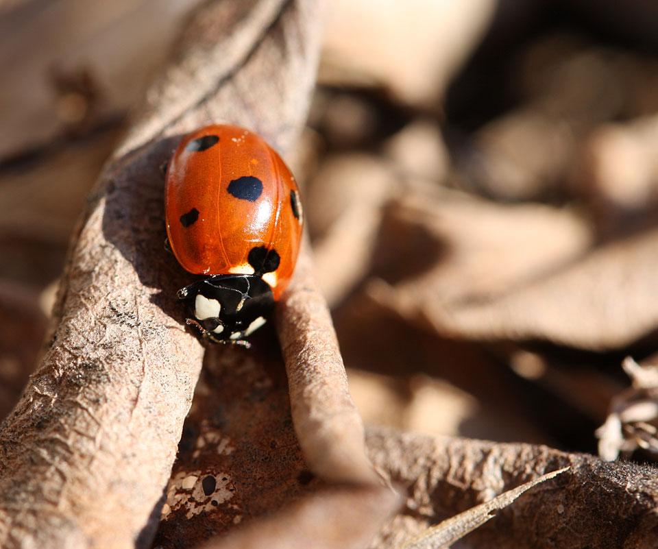 Und wenn auch noch fast unbeweglich: Die ersten Marienkäfer sind zu sehen.