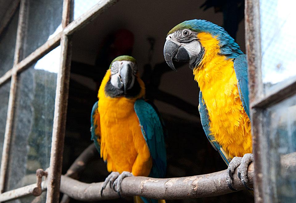 Diese zwei Gelbbaucharas schauen aus einem großen Fenster in ihr Freigehege.