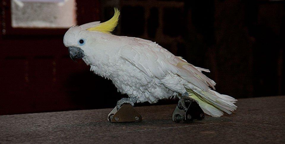 Der Gelbhauben-Kakadu Rocko dagegen raste mit Rollschuhen dahin.