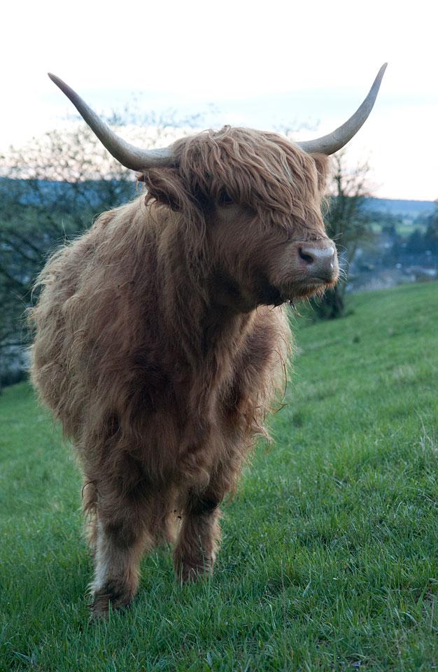 Nicht gerade klein und zierlich - dieses Schottische Hochlandrind.