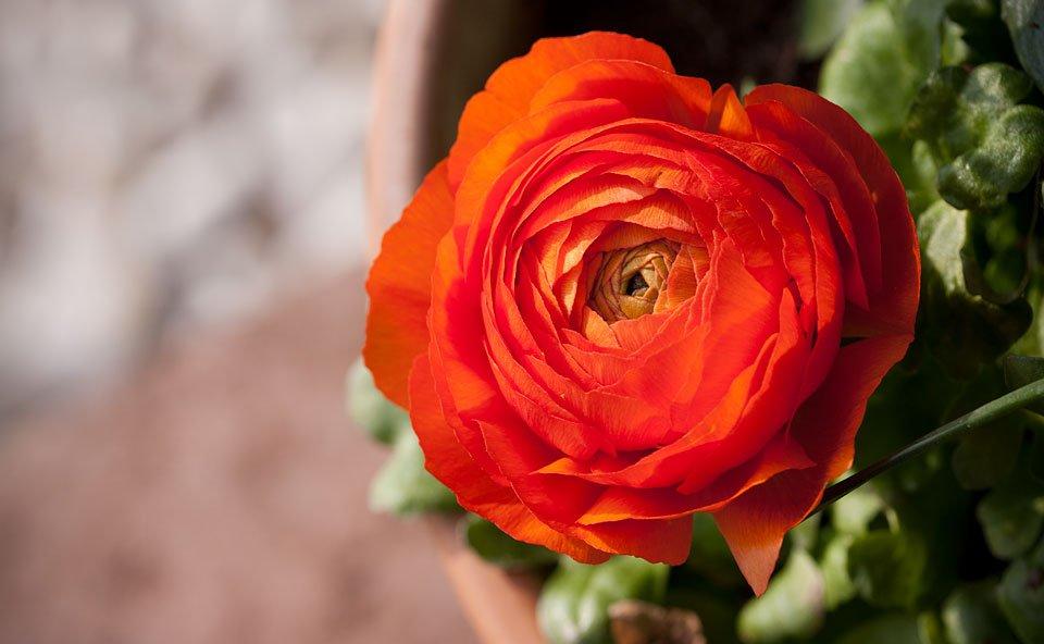 Die wunderschöne Form der vielen Blütenblätter der Ranunkel.