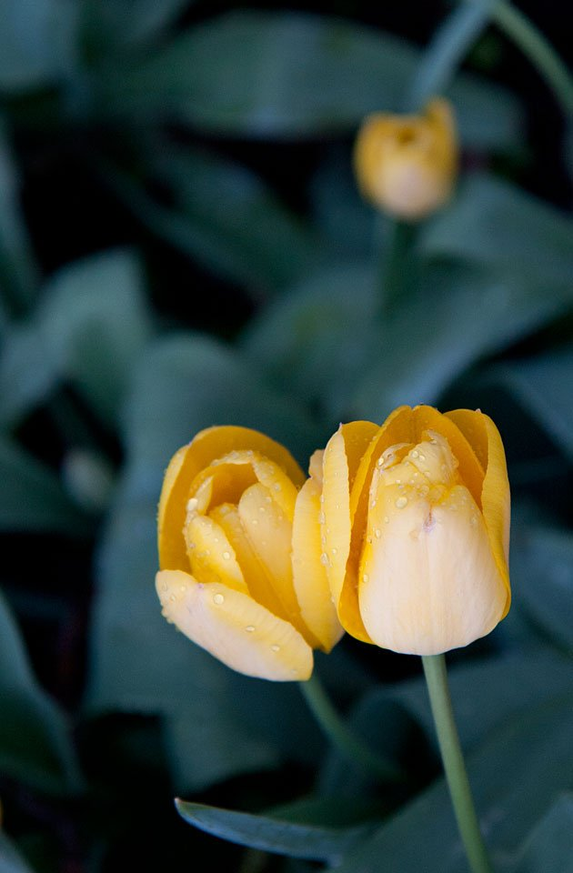 Tulpen am Abend nach dem Regen.
