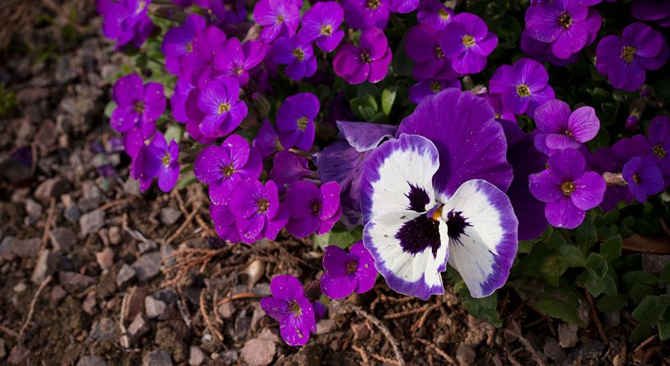 Lila Licht: Diese Viola-Blüte.