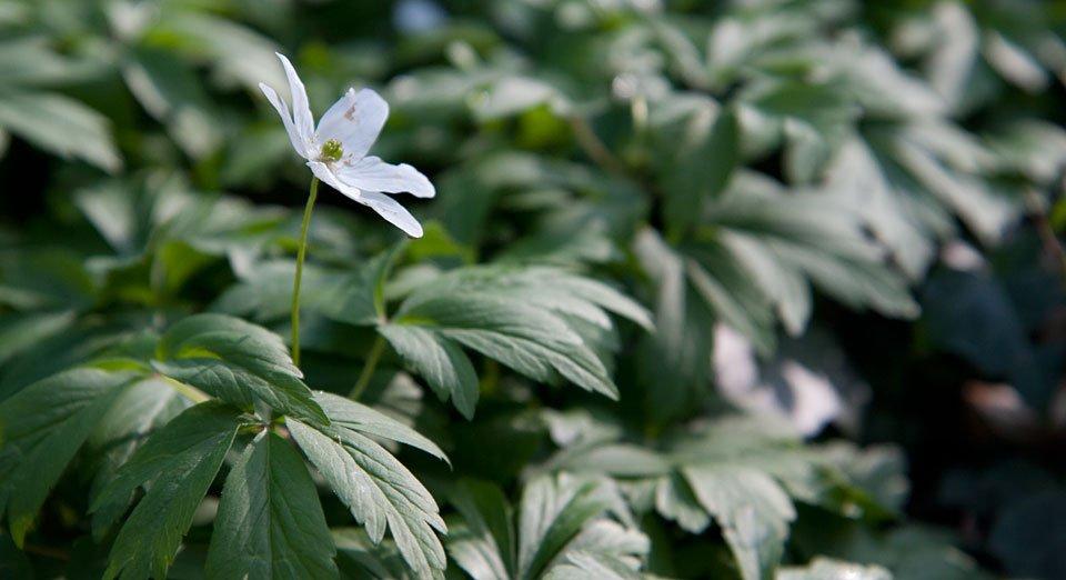 """...Weiße Buschwindröschen """"Anemone nemorosa""""."""