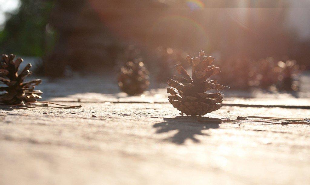 Kiefernzapfen im Gegenlicht der Abendsonne.