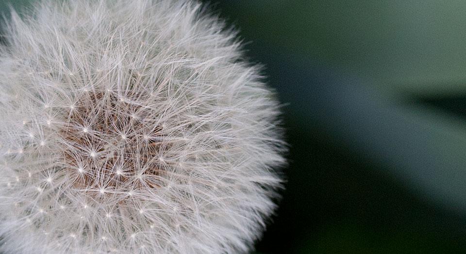 Jeder dieser Samen wartet nur auf den passenden Windhauch um davon zu fliegen.