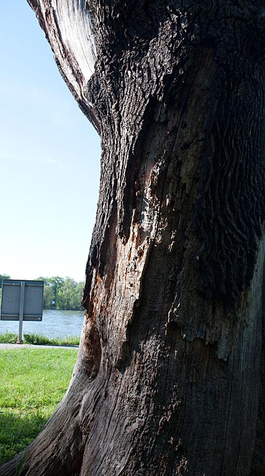 Das Holz des einst mächtigen Baumes ist schon von Insekten zerfressen und von manchem Vogel bearbeitet.