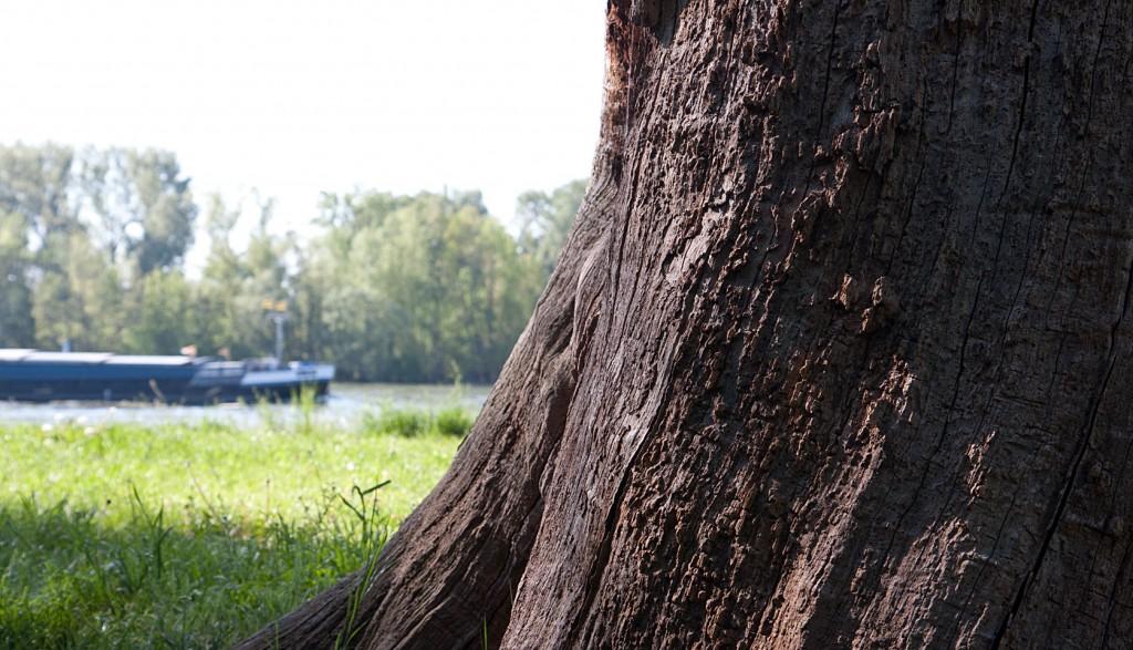 Alter Baum, toter Baum - die Überreste stehen noch wie ein Mahnmal am Rhein.