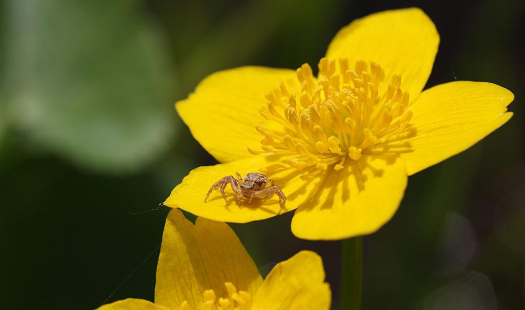 Diese kleine Spinne dagegen sahs auf einem Blütenblatt.