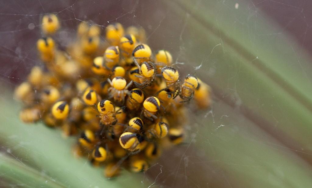 Zu Beginn waren alle Mini-Spinnen ein großer Haufen.