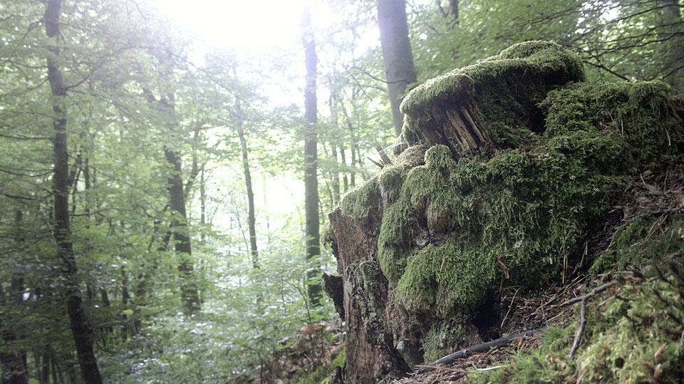 So machner Moosbewachsener Baumstumpf könnte ein Zuhause für Rumpelwichte sein.