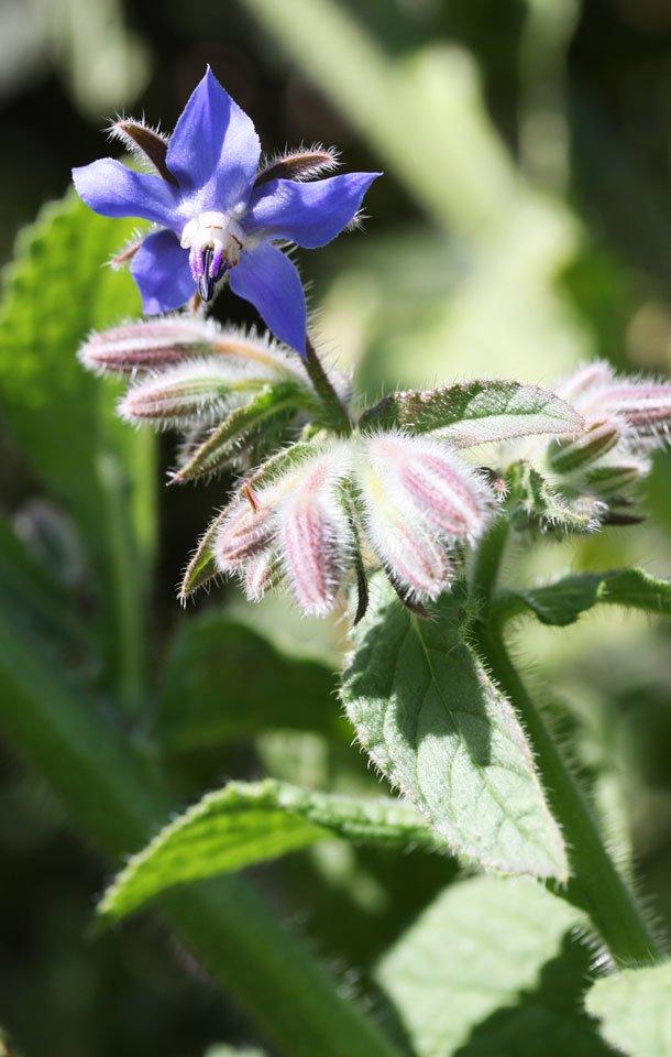 Die blauen, sternförmigen Blüten sehen aus wie kleine Feen-Hüte.