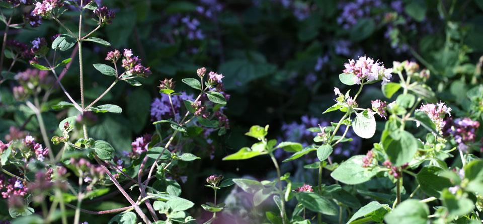...ist mit seinen vielen kleinen Blüten auch hübsch anzusehen.