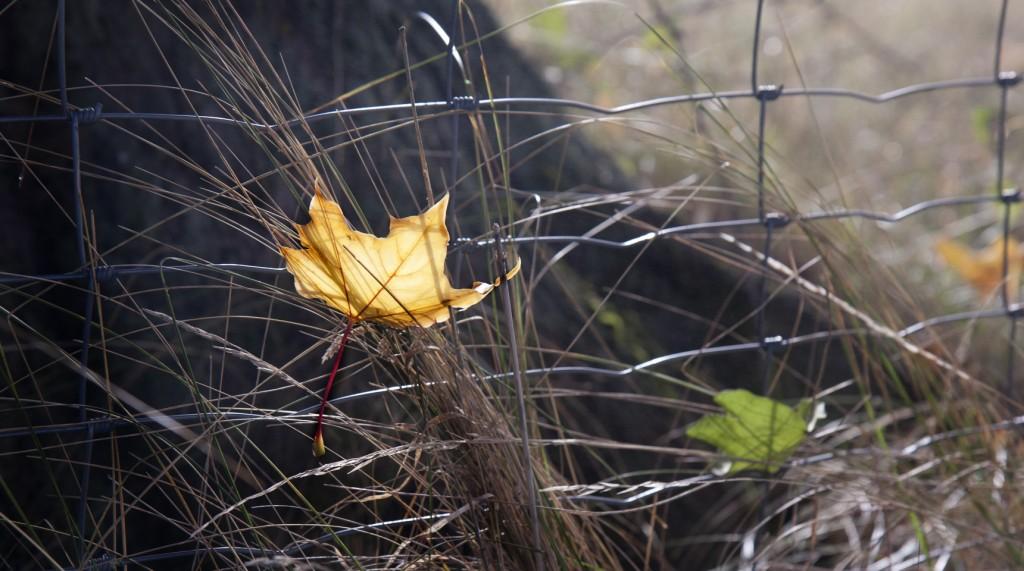 Die Blätter fallen –eins nach dem anderen...