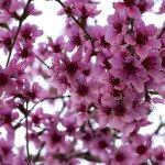 Pfirsichblüten überall.