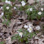 Bedecken den ganzen Boden mit weißen Blüten.