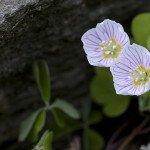Vorsichtig lucken diese beiden Blüten zwischen den Steinen hervor.
