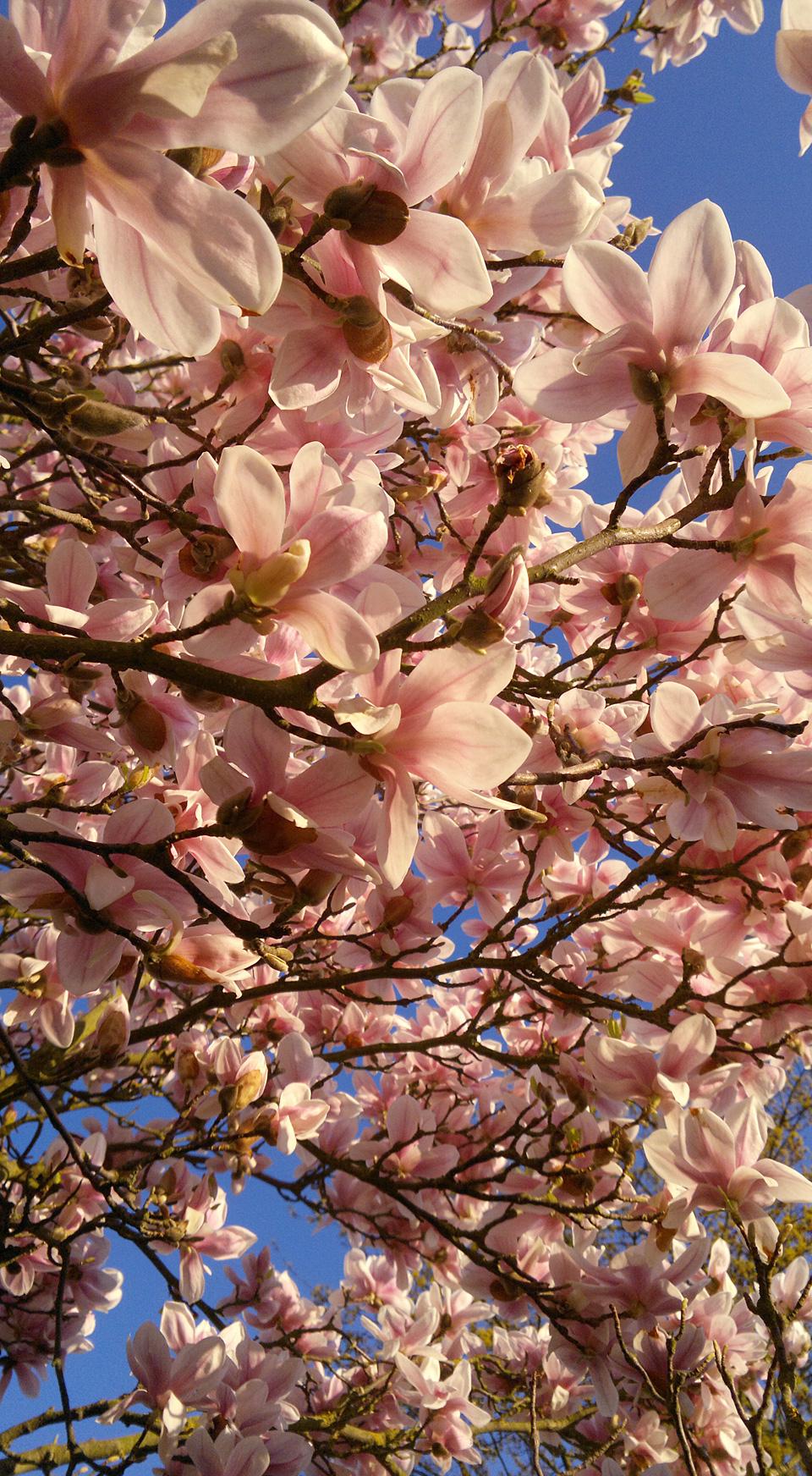 Magnolienbaum – wenn doch das Bild so gut duften könnte wie er…