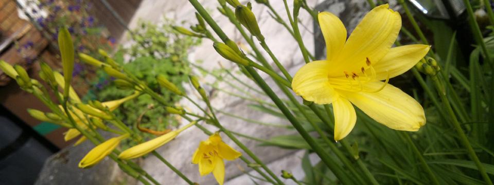 Gelb im Garten – Lilien.