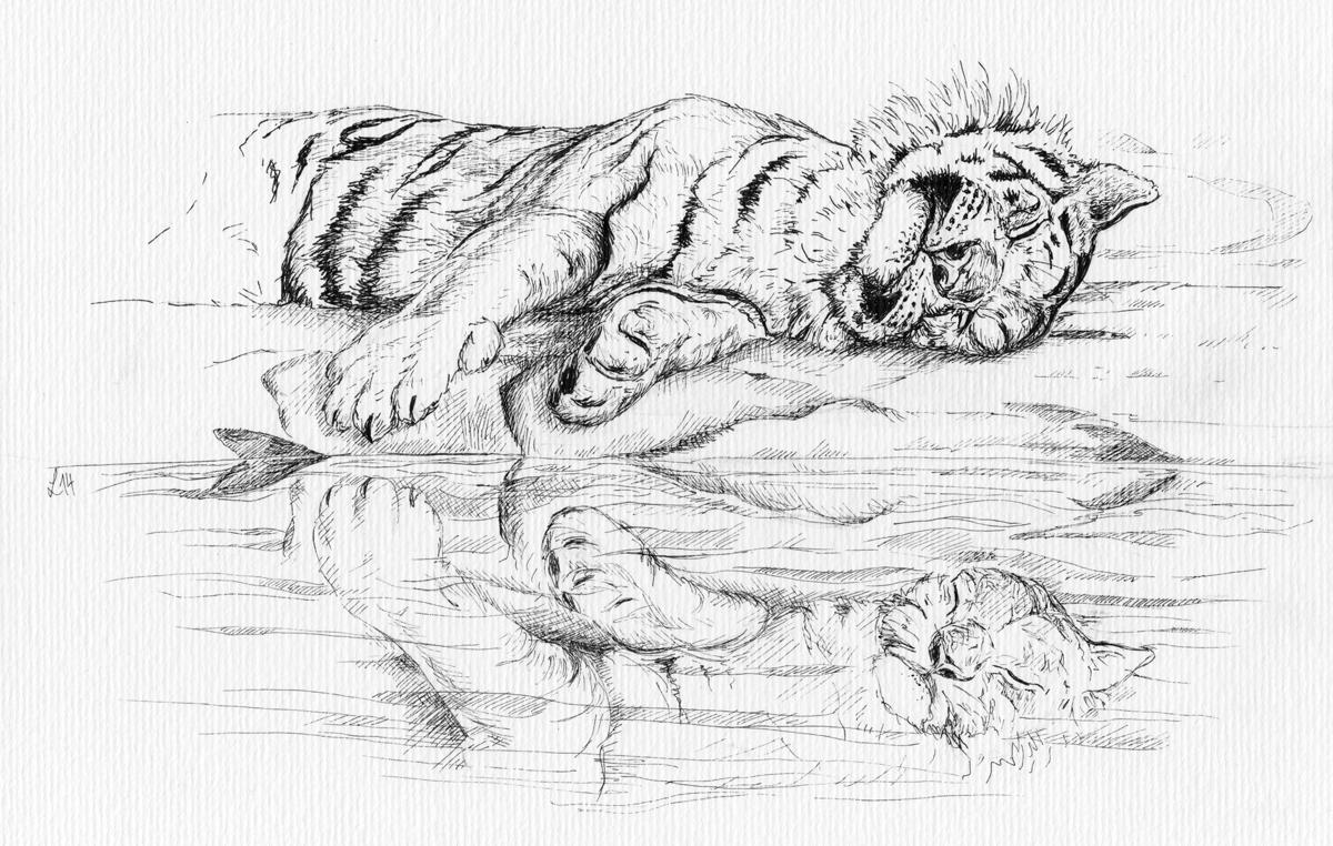 Schläft am Wasser – der Tiger.