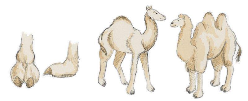 Na, wer erkennt was Kamel und was Dromedar ist?