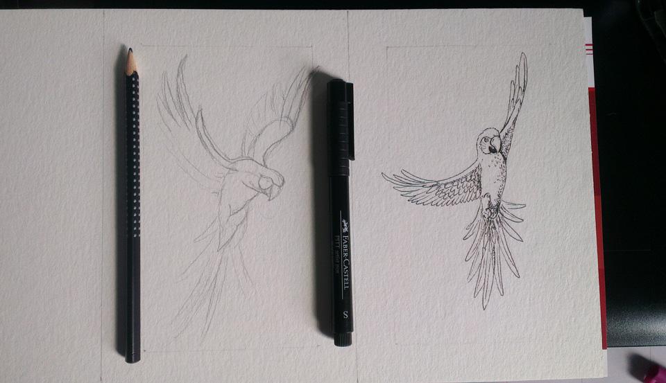 Die zwei Aras – links nur Bleistift, rechts schon in Tusche.