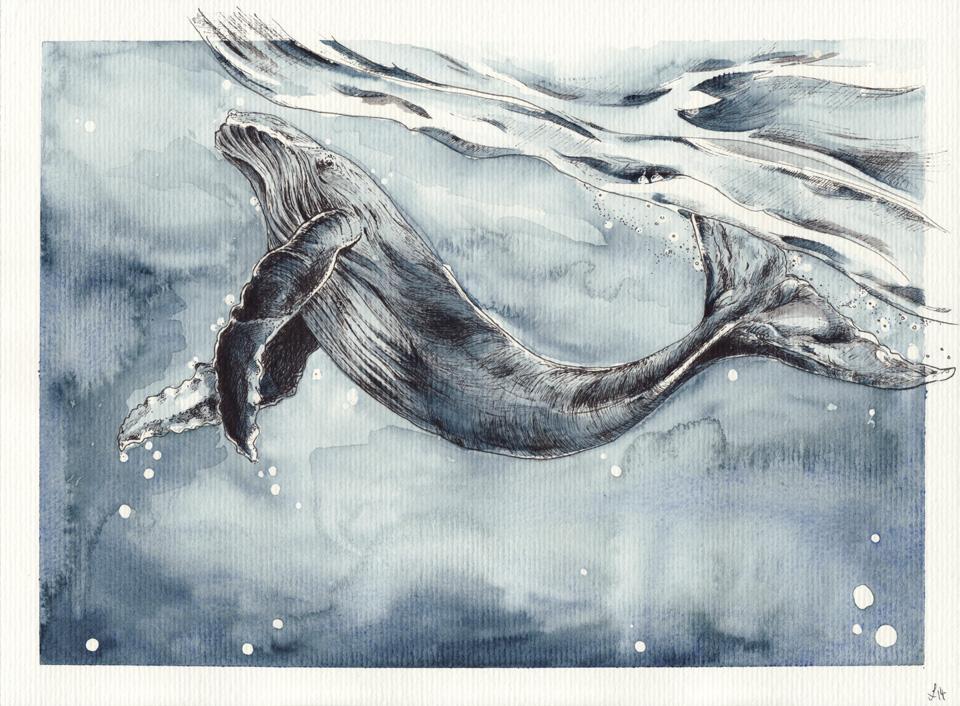 Tanzender Riese – Ein Buckelwal unter der Meeresoberfläche.
