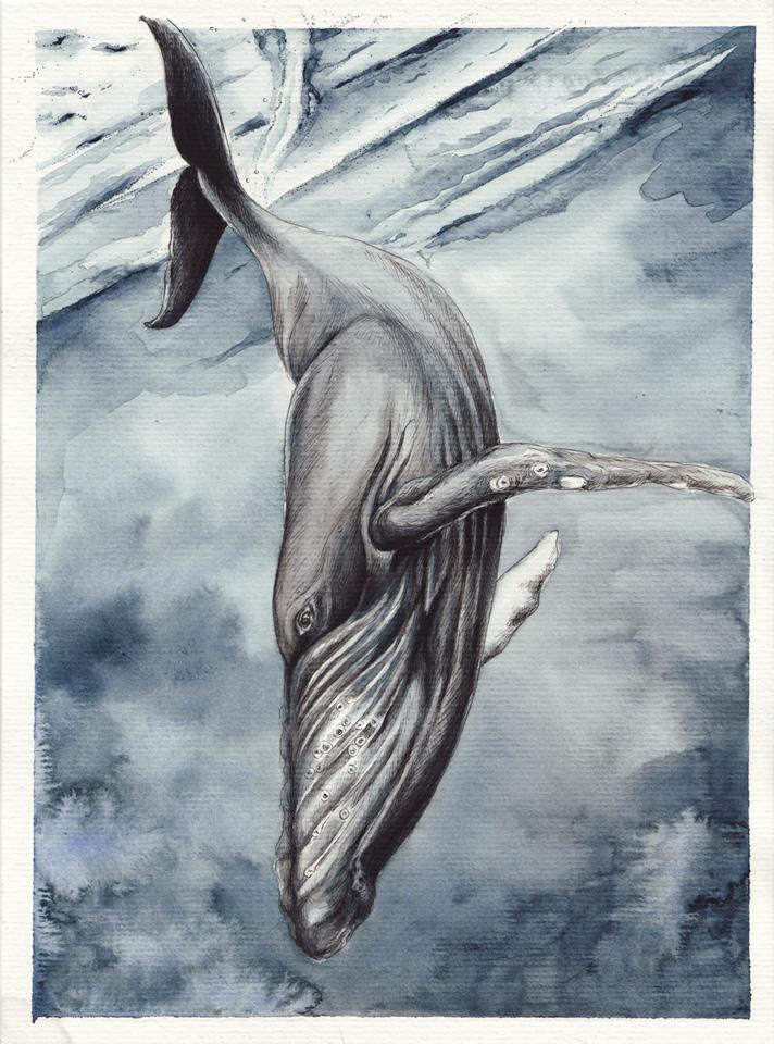Abwärts in die Tiefe – Der Buckelwal taucht ab.