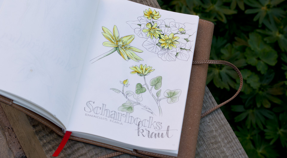 Scharbockskraut blüht im Frühjahr zum Teil bodendeckend auf Wiesen oder in Laubwäldern.