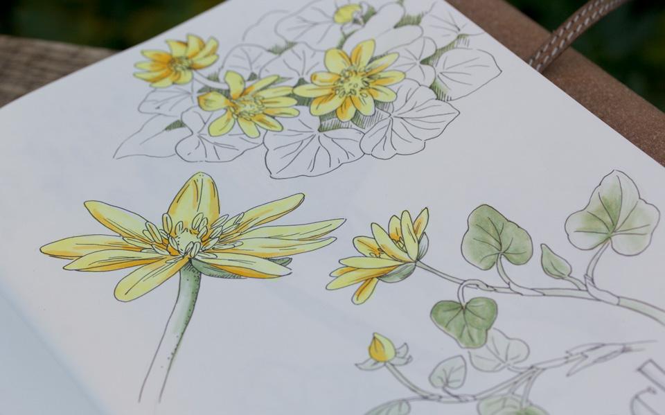 Die Finliner Illustration wurde coloriert mit Copic bzw. Stylefile Alkohol Markern. Das eigentlich kräftig grüne Laub habe ich nicht vollständig coloriert - mit gefällt die Betonung der Blüten dadurch sehr gut.