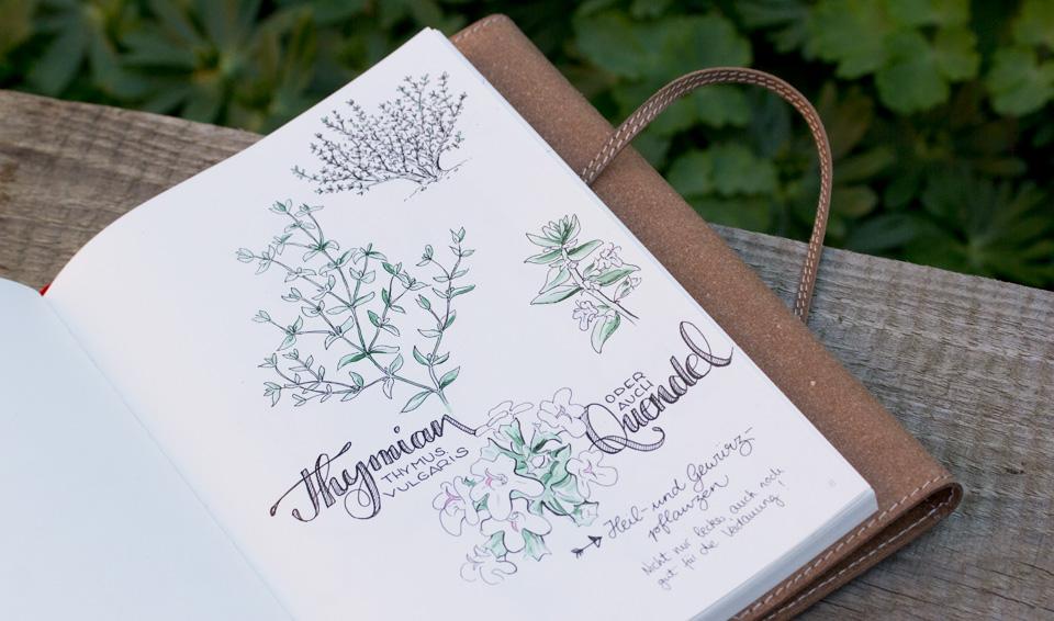 Thymus Vulgaris - Botanische Skizzen zu dieser Heil- und Gewürzpflanze.