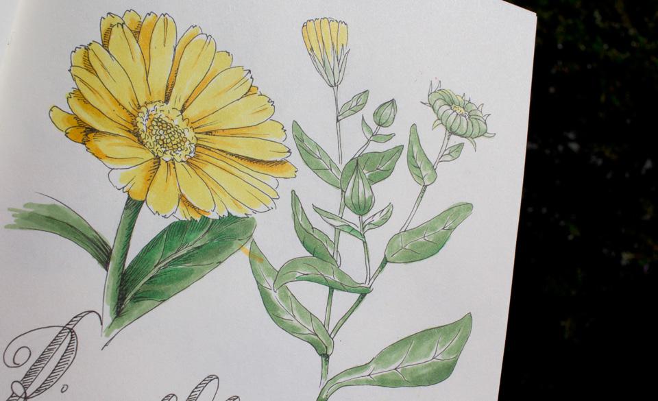 Knospe, offene und verwelkte Blüte der Ringelblume.
