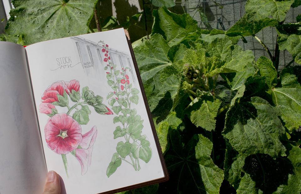 Abbild und noch heranwachsende Pflanze: Die Stockrosen werden auch in diesem Jahr wieder den Schuppen erklimmen.