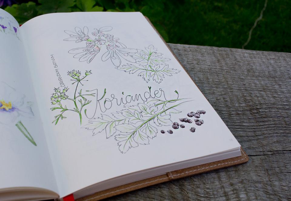 Koriander: Pflanze und Samen finden nicht nur in der Küche Verwendung.