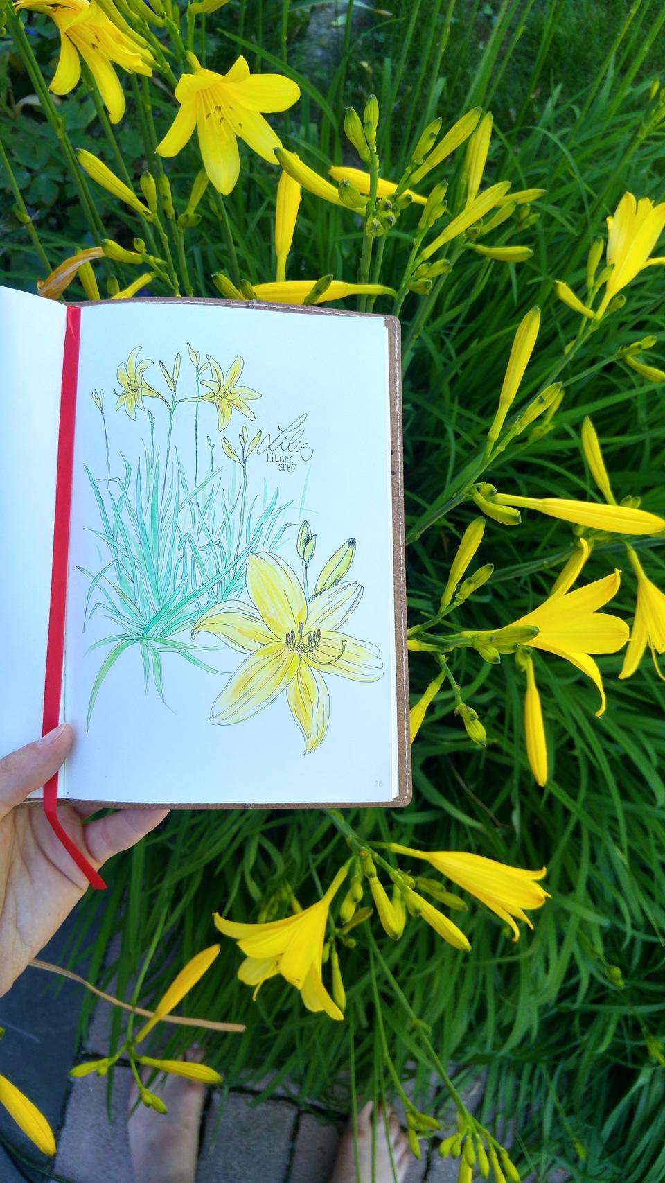 Strahlen mit der Sonne um die Wette – Sommerlilien in meinem Garten.