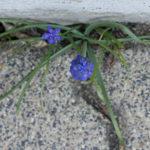 Durch den kleinsten Ritz kommt der Frühling.