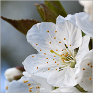 Der Bäume Frühlingskleider