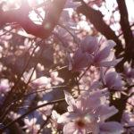 Sonnenstrahlen im Magnolienbaum.