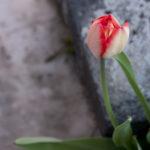 Im eigenen Garten: Rote Spitze.