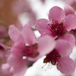 Pfirsichblüten.