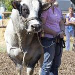 Groß und doch so zärtlich – der Bulle bei der Deutschen Holstein- und Fleischrinderschau