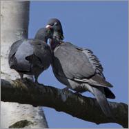 Von turtelnden Tauben…