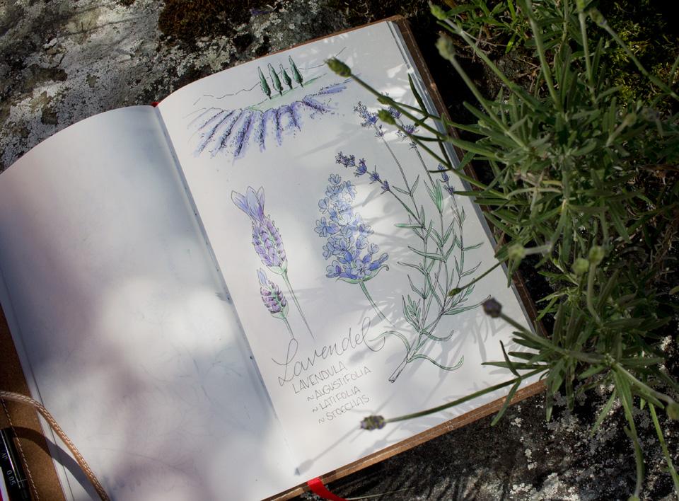 Bald blüht er auch in meinem Garten, der Lavendel.
