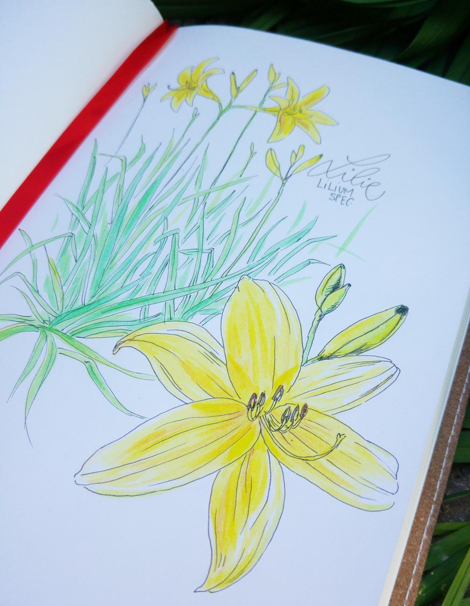 Lilium spec - gezeichnet mit Fineliner, koloriert mit Tombow Brushpens.