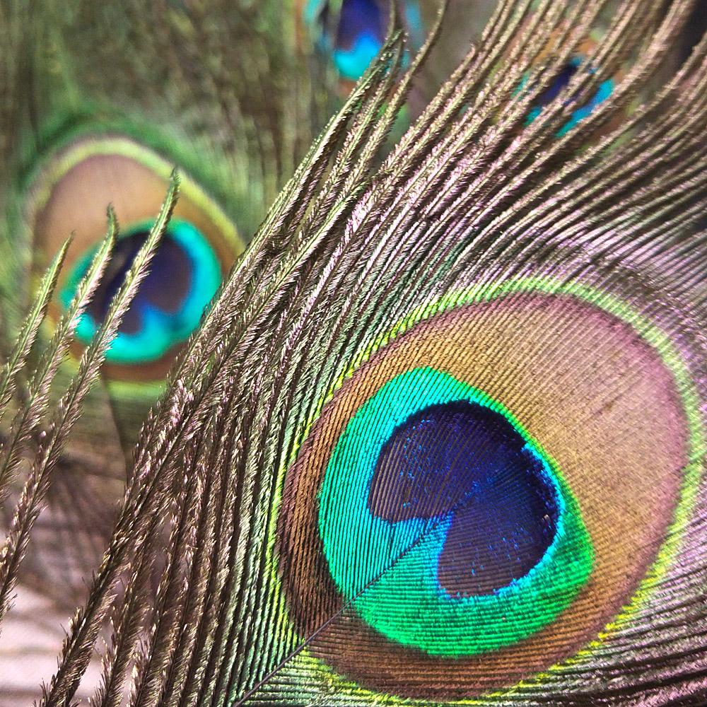 Sind gar nicht so sehr blau - die Federn mit dem bekannten Pfauenauge.