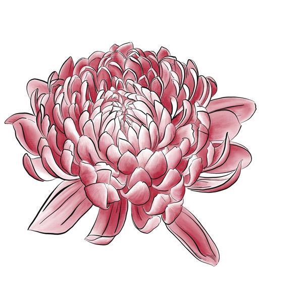 Die fertig colorierte Chrysanthemenblüte.