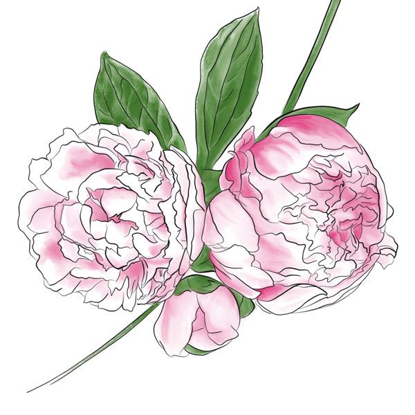 Zart rosa Pfingstrosen.
